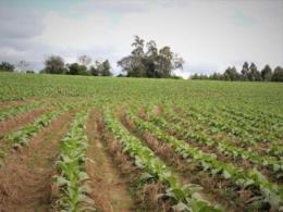 Avança utilização de práticas conservacionistas entre produtores de tabaco